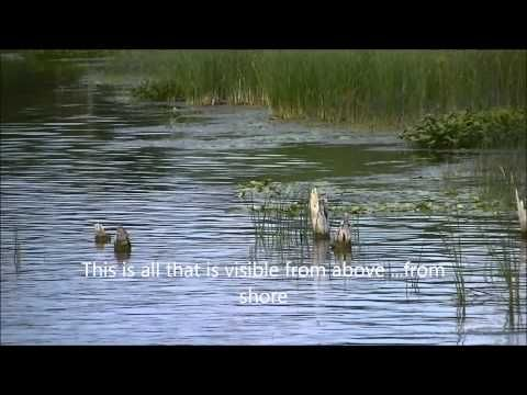 5000 year old Fish Fence   Fish Weirs At Atherley Narrows Near Orillia O...
