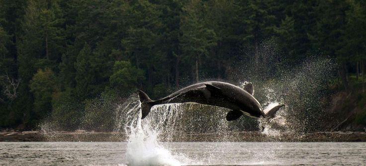 CHASSE. Plusieurs familles d'orques vivent tout au long de l'année dans les eaux des iles San Juan dans l'état de Washington, situé au nord-ouest des Etats-Unis. Les eaux froides du Pacifique assurent à ce prédateur marin doué d'une grande intelligence, une nourriture abondante ; saumons, phoques, éléphants de mer ou comme ici marsouins.