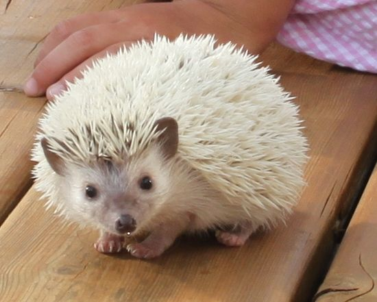 17 best ideas about albino hedgehog on pinterest where do hedgehogs live hedgehogs and baby. Black Bedroom Furniture Sets. Home Design Ideas