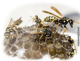 Krijgt men een steek van een bij of een wesp dan zal er een rode bult verschijnen waar een witte rand omheen zit, deze bult is pijnlijk en jeukt. Bij een bijensteek blijft de angel in de huid achter een wesp heeft een angel zonder weerhaken deze blijft niet in de huid achter daarom kan een wesp meerdere keren achter elkaar steken. Als de wesp steekt spuit hij een klein beetje gif bij het slachtoffer naar binnen.