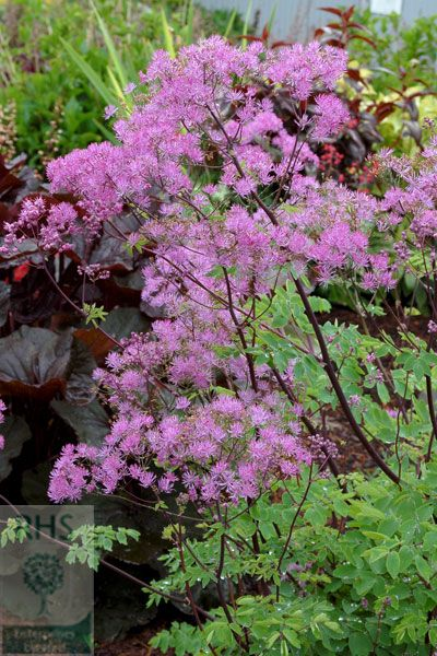 1000 images about thalictrum on pinterest blog page for Thalictrum rochebrunianum rhs