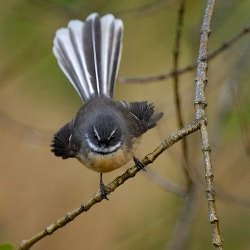 NZ native bird - Fantail. This little bird will come very close to you when you walk in the garden, as insects are disturbed and they fly in to catch them.