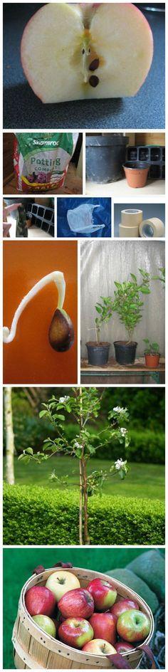 Plante maçãs com as sementes, em casa. Learn How You Can Grow Your Own Apple Trees From Seeds