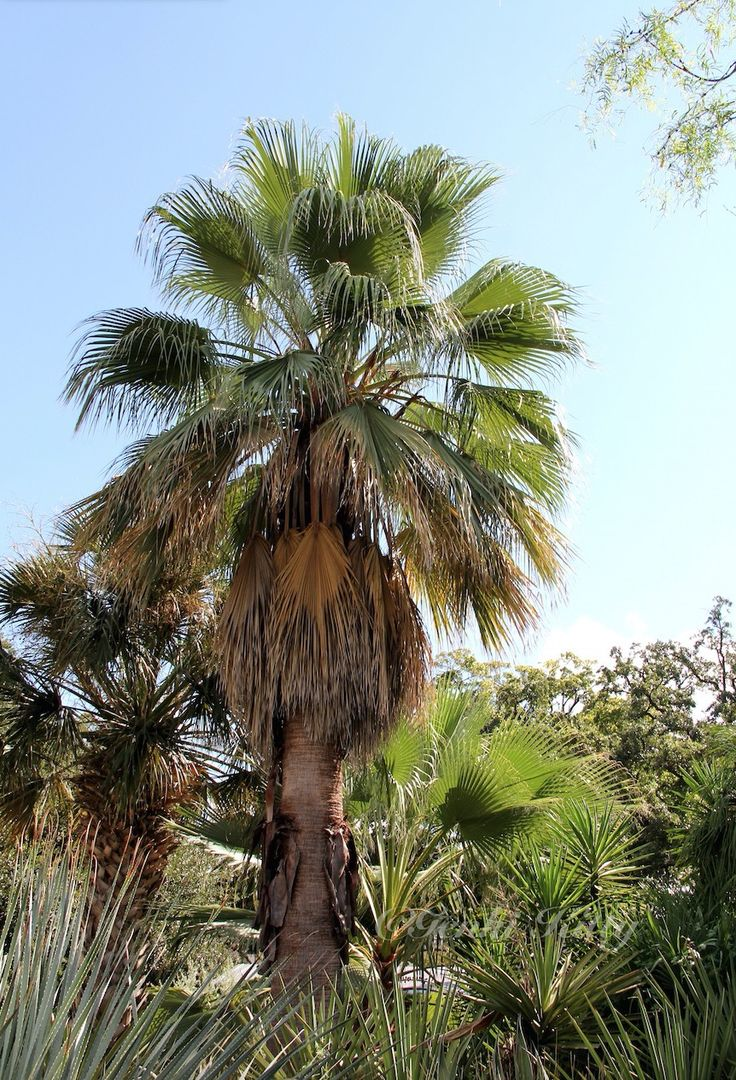Palm Trees in the Alamo Mission Garden San Antonio, Texas 2015