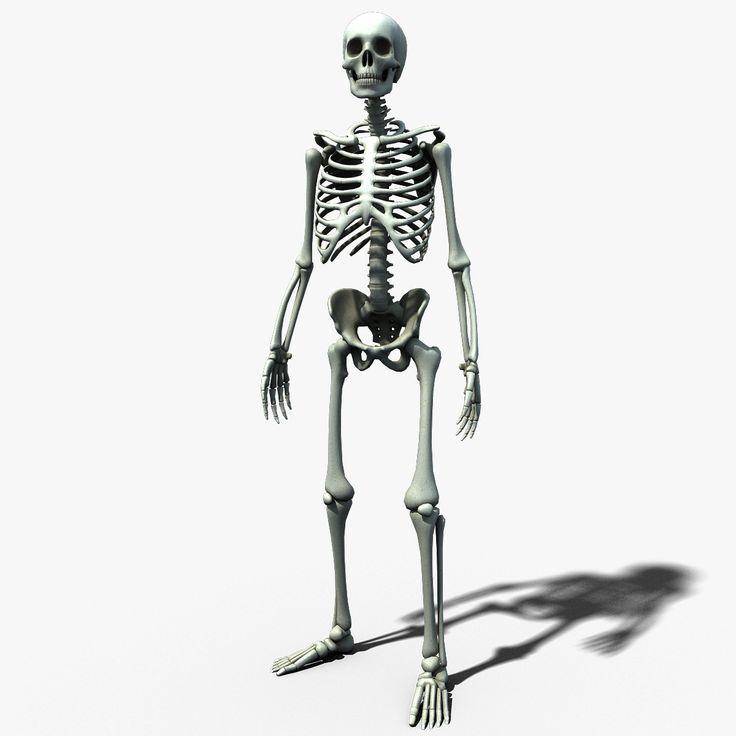 Best 25+ Human skeleton model ideas on Pinterest