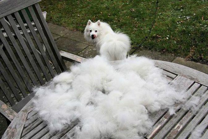american eskimo dog shedding