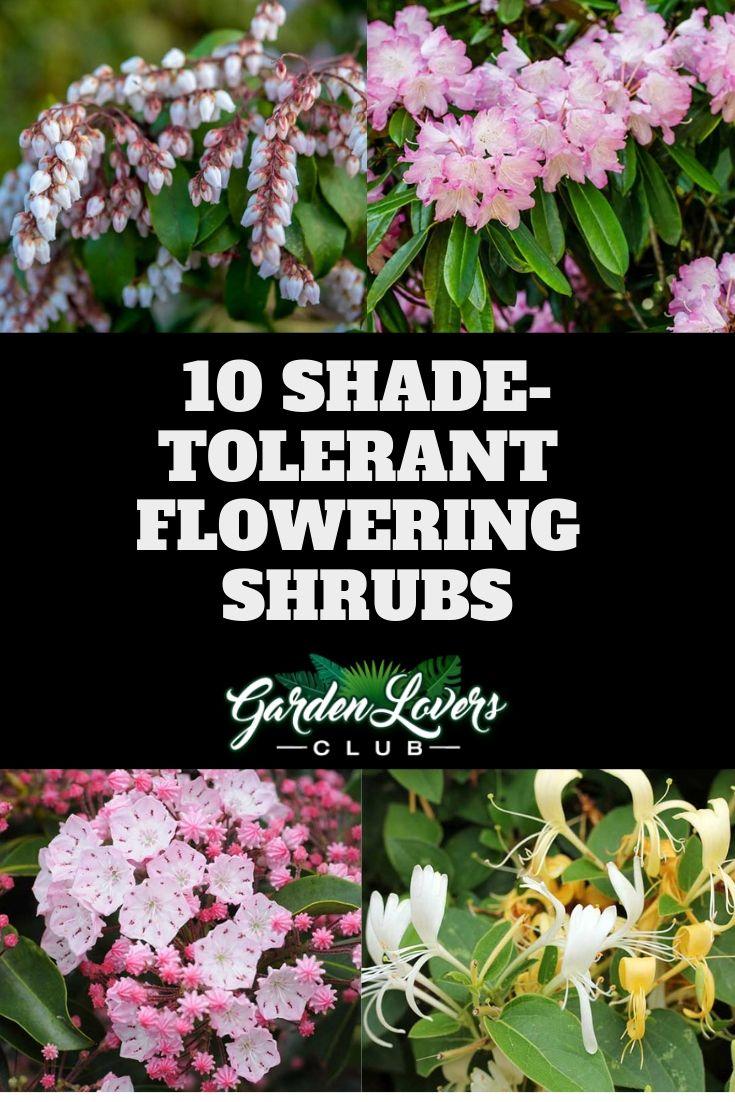10 Shade Tolerant Flowering Shrubs Flowering Shrubs For Shade Flowering Shrubs Shade Shrubs