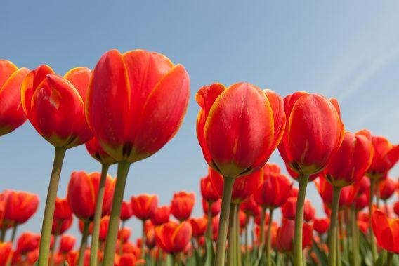 Close up van rode tulpen tegen achtergrond van een helder blauwe lucht van Henk van den Brink