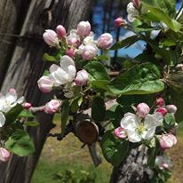 Beautiful Apple Blossoms at Pine Farms Orchard in Ontario, Canada