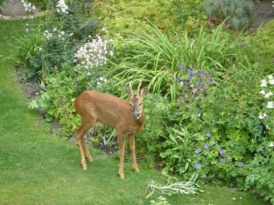 LANDSCAPE & GARDENING: DEER RESISTANT: (ANNUALS)Bachelor buttons, Calendula Sunflower, Zinnia, Snapdragon, Four o'clock Salvia, Cosmos, Dusty miller, Baby's breath (PERRENIALS) Black-eyed Susan, Columbine Flax, Ferns, Sage, Iris, Lavender, Lupine, Butterfly weed, Shasta daisy (SHRUBS) Barberry, Lilac, Wild rose Snowberry, Golden currant, Juniper, Sagebrush, Holly, Boxwood