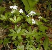 Asperule odorante, plante médicinale. Tout sur les plantes médicinales.