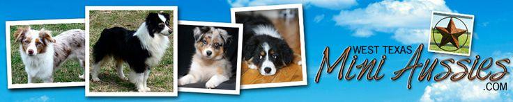 West Texas Mini Aussies | Miniature Australian Shepherds | Lubbock, TX | Mini & Toy Aussie Puppies Raised With Love
