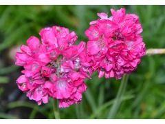 """Armeria maritima """" Morning Star Deep Pink """" - trávnička přímořská Zahradnictví Krulichovi - zahradnictví, květinářství, trvalky, skalničky, bylinky a koření"""