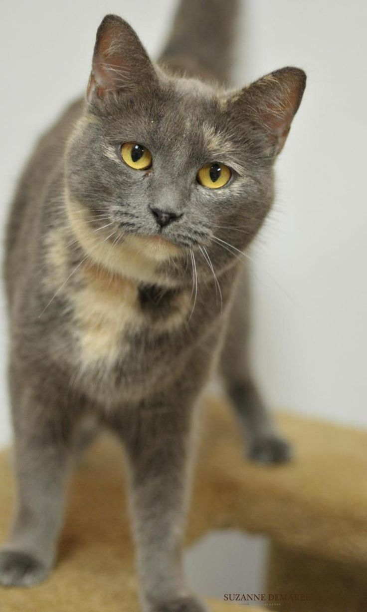 Meet Joni, a Petfinder adoptable Dilute Tortoiseshell Cat | Fulton, TX | Joni is a sweet cat with very pretty coloring. She is looking for a family to take her home.