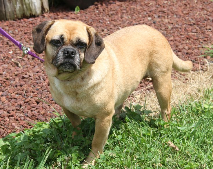 Adopt puggy sue spayed in foster to adopt on pets