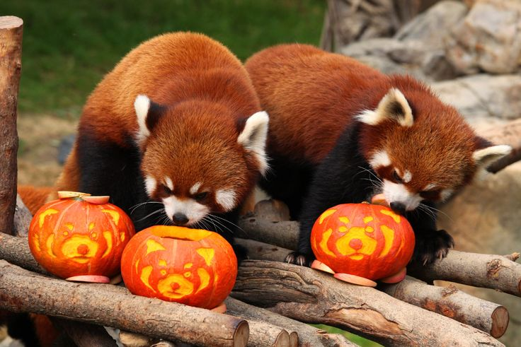best photos and images ideas about cute red panda - types of pandas