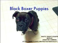 Many people throughout the world claim to own black boxer puppies. The rareblack boxerdog is advertised by many of the breeders and they take outrageous prices for selling these.Black Boxer dogsare surrounded by a number of myths. These myths are quit