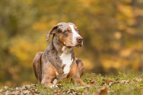 3. Catahoula Cur - These guys are super noisy and eat furniture. Watch out!