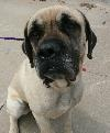 Ozzy - ADOPTED - through Great Plains Mastiff Rescue