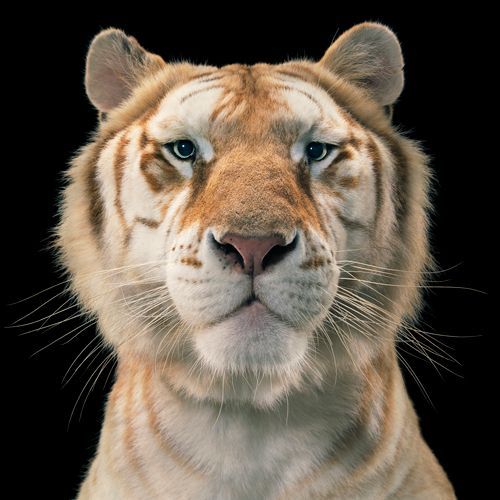 Tiger by Tim Flach #animal #photography #tiger