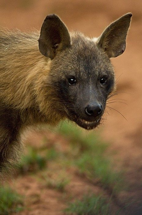Close Up Portrait Of A Brown Hyena Print by Mattias Klum