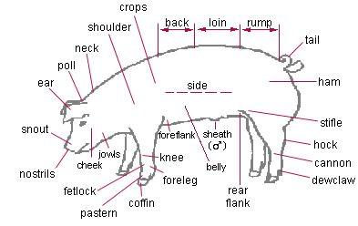 external structure of a pig