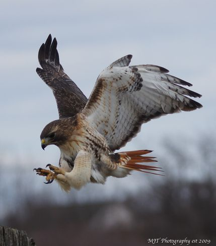 Red tail Hawk with landing gear down shot 2-15-13
