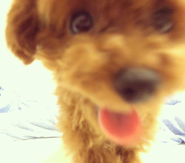 目がいきいきしてる😂😳✨ #dog#dogstagram#いぬすたぐらむ#てんすたぐらむ#犬#子犬#愛犬#わんこ#可愛い#かわいい#kawaii#cute#love#lovery#好き#プードル#トイプードル#ティーカッププードル#犬バカ#親バカ#poodle#toypoodle#ten#てん#てんちゃん#お笑い犬#癒し犬