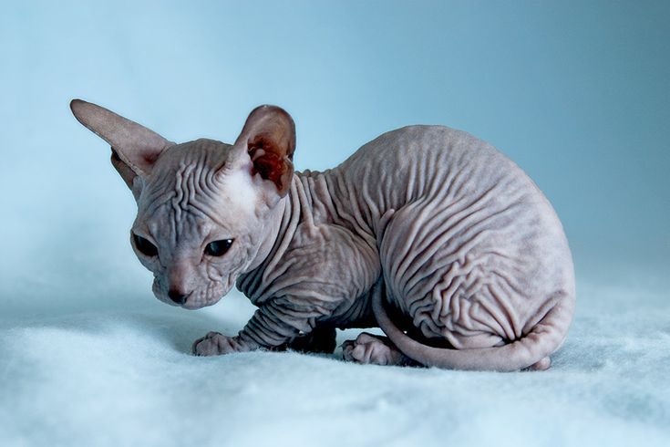 Sphynx Kittens - 20 Pictures (9)