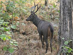 Sambar deer - Wikipedia, the free encyclopedia