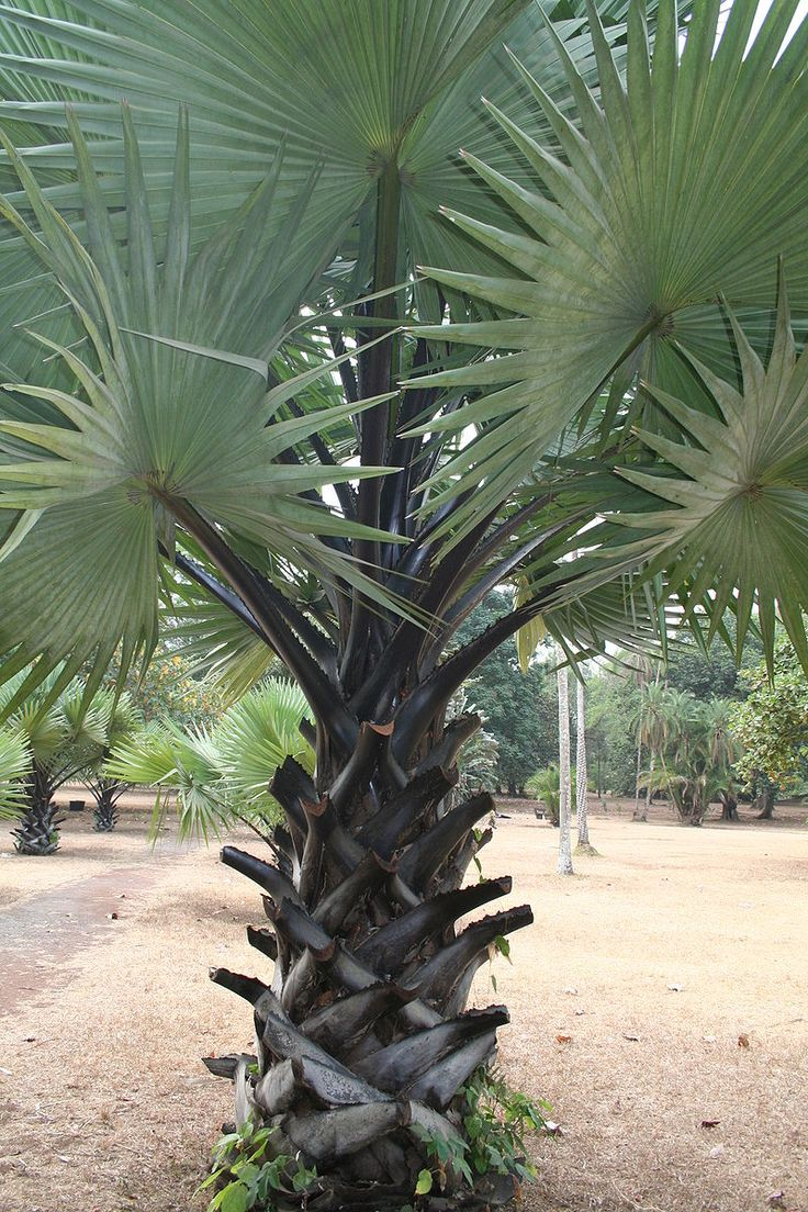 220 best Palms images on Pinterest | Plants, Beautiful and Garden