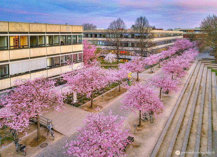 Kirschblüte Campus Göttingen Luftbild | Fotograf GöttingenKirschblüte Campus Göttingen Luftbild | Fotograf Göttingen