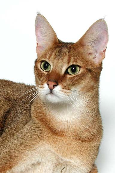Chausie cat breed - Chausie: The Chausie is a short-haired, medium to large sized cat with a long body. Three color combinations are found - black grizzled tabby, brown ticked tabby and solid black
