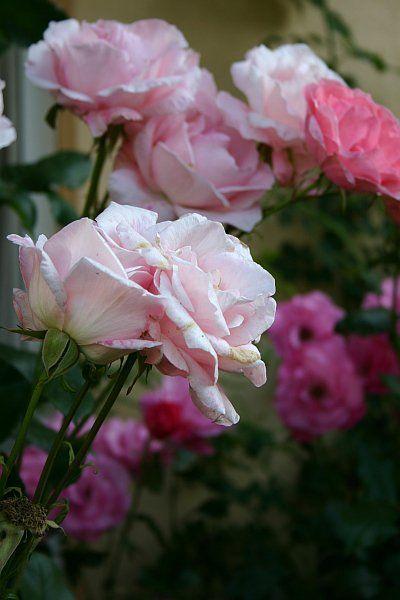 Great  Gartenkalender Gartenmonat Juni Die Arbeiten im Garten und auf dem Balkon