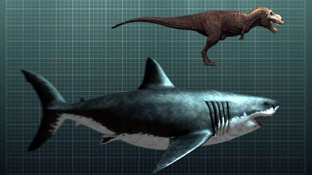 My cousin the megalodon compared to a T-rex. The megalodon was so big that it feasted of whales. Scientist guess that megalodons were around 60 feet long