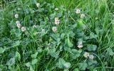 Weißklee Unkraut Rasen