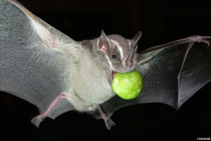 Neotropical leaf-nosed bats are the subjects of the first study to measure how the tooth structure of wild mammals is related to their ability | Source: news.bbc.co.uk