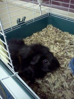 Why Guinea Pigs Make Great Classroom Pets