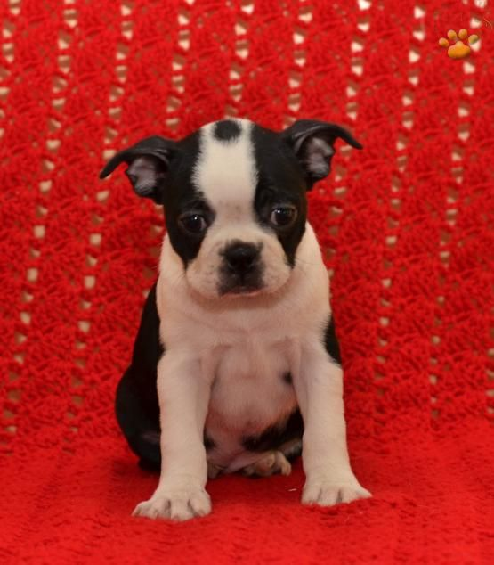 Sandra - Boston Terrier Puppy for Sale in Ronks, PA | Lancaster Puppies
