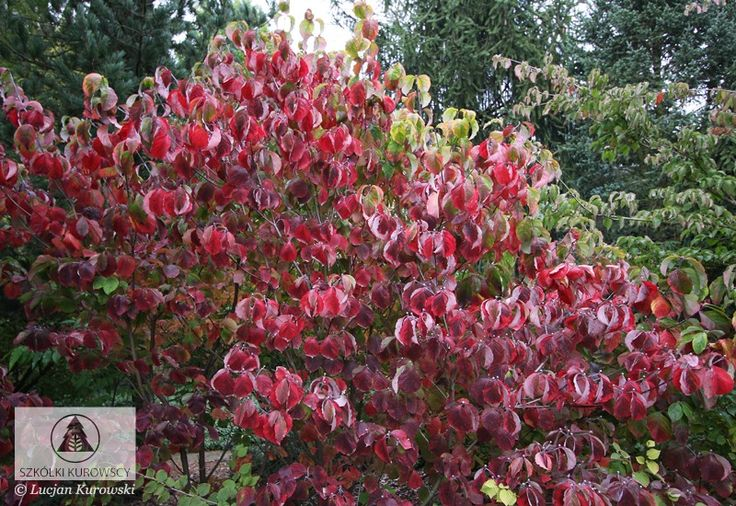 Image result for cornus florida rainbow