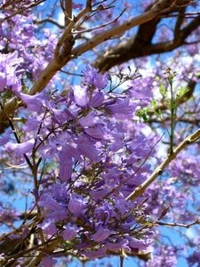 Purple Flowering Tree Types