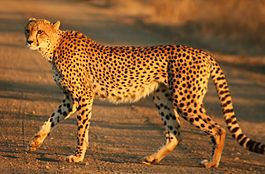 Гепард - охотничий леопард. Является самым быстрым наземным млекопитающим: за 3 секунды может развивать скорость до 100 км/ч. Это один из четырёх представителей семейства кошачьих с неубирающимися когтями