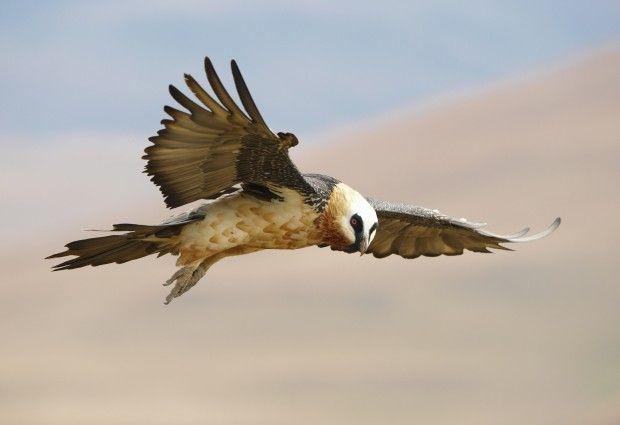 Abutre-barbudo (Gypaetus barbatus) encontrado na África, Europa e na Ásia. Espécie quase ameaçada de extinção segundo a IUCN