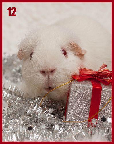 On the twelve day of christmas my true love gave to me...... twelve adorable guniea pigs