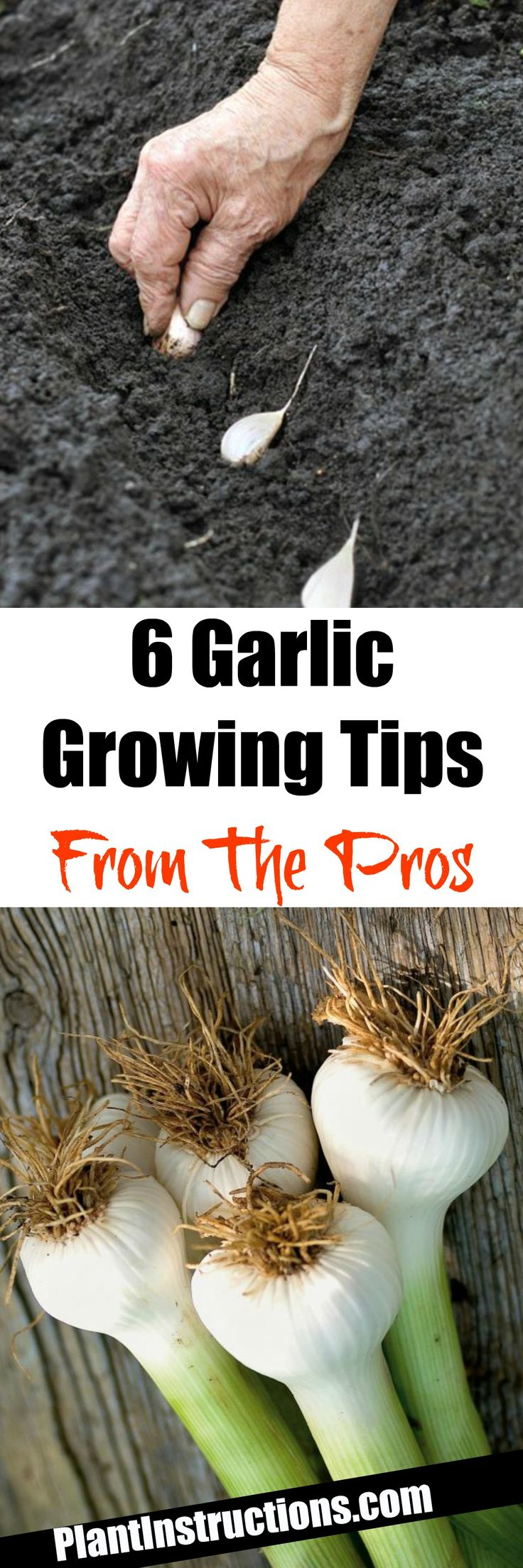 Garlic Growing Tips