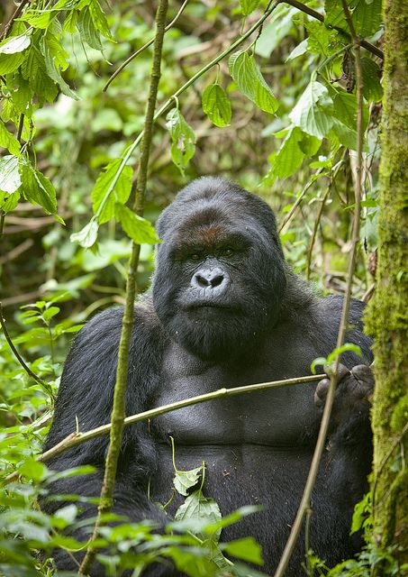 Volcanoes National Park, NW Rwanda.  It is the haven for the mountain gorilla and home to 5 of 8 volcanoes in the Virunga Mountains (Karisimbi, Bisoke, Muhabura, Gahinga and Sabyinyo), which are covered in rainforest and bamboo. The park was the base for Dian Fossey.    © Eric Lafforgue