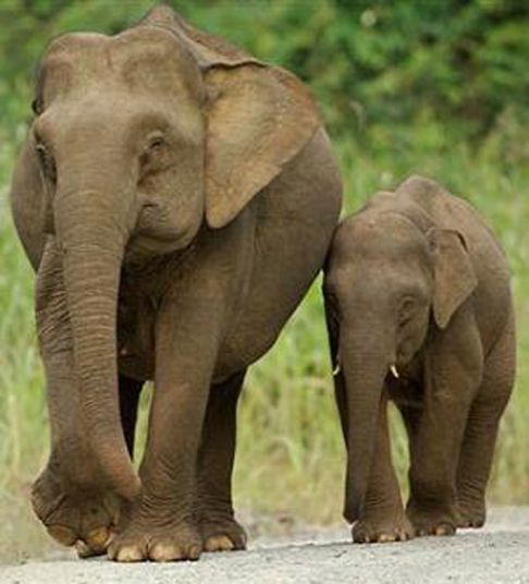 Cute Elephant | true wild life asian elephant asian elephants are much smaller than ...