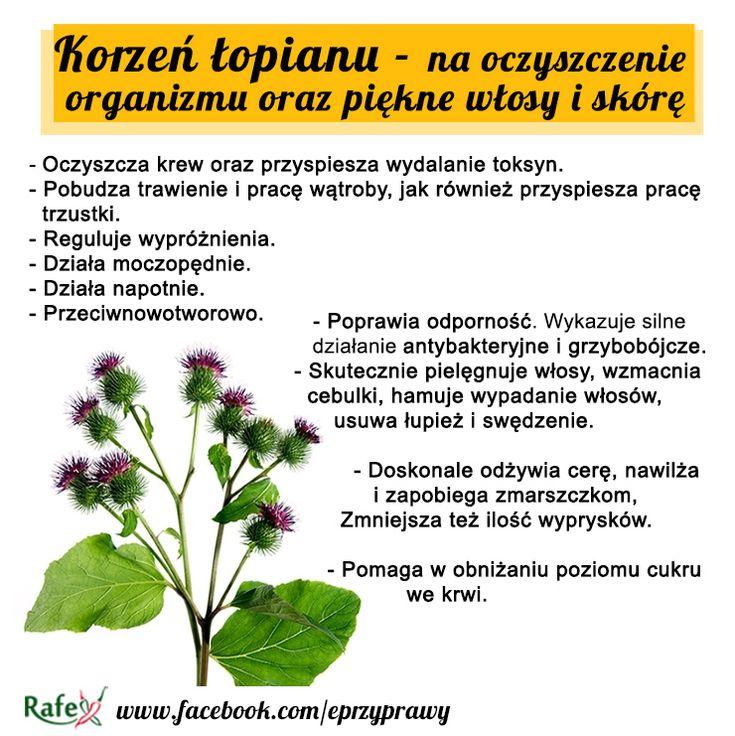 Łopian to roślina, którą niemal każdy kojarzy - posiada on duże sercowate liście ,drobne kwiatki oraz haczyki które czepiają się wszystkiego. Największe właściwości lecznicze jednak posiada korzeń łopianu. Zawiera on wiele cennych substancji: proteiny, olejki eteryczne, karoten, fitosterole, garbniki, siarkę, fosfor, witaminę C.  Łopian ma bardzo duże znaczenie dla poprawy nie tylko stanu zdrowia ale i urody.