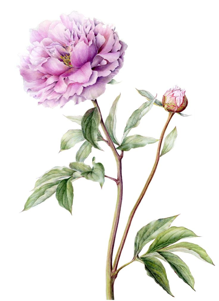 Paeonia botanical illustration pinterest for Botanic fleurs artificielles
