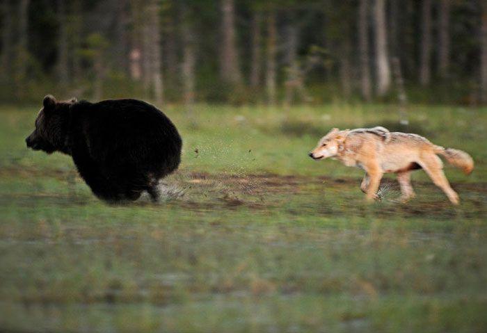O fotógrafo Lassi Rautiainen observou uma amizade entre um lobo e um urso marrom nas florestas da Finlândia.